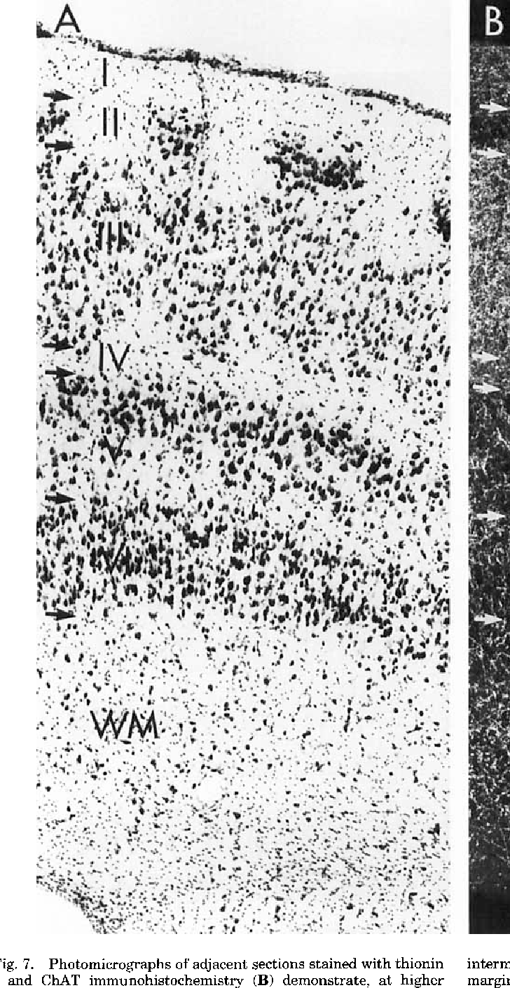 Fig. 7. Photomicrographs of adjacent sections stained with thionin (A) and ChAT immunohistochemistry (B) demonstrate, at higher magnification, the laminar organization of C U T staining in the intermediate division of monkey entorhinal cortex. Arrows in the left margin demarcate the different layers in the entorhinal field. For scale, see scale bar in Figure 6.