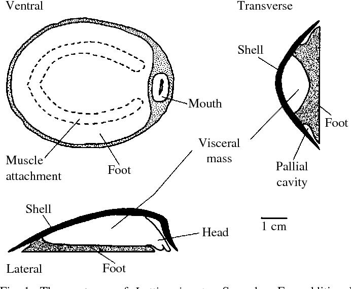 hydrodynamics, shell shape, behavior and survivorship in the owl