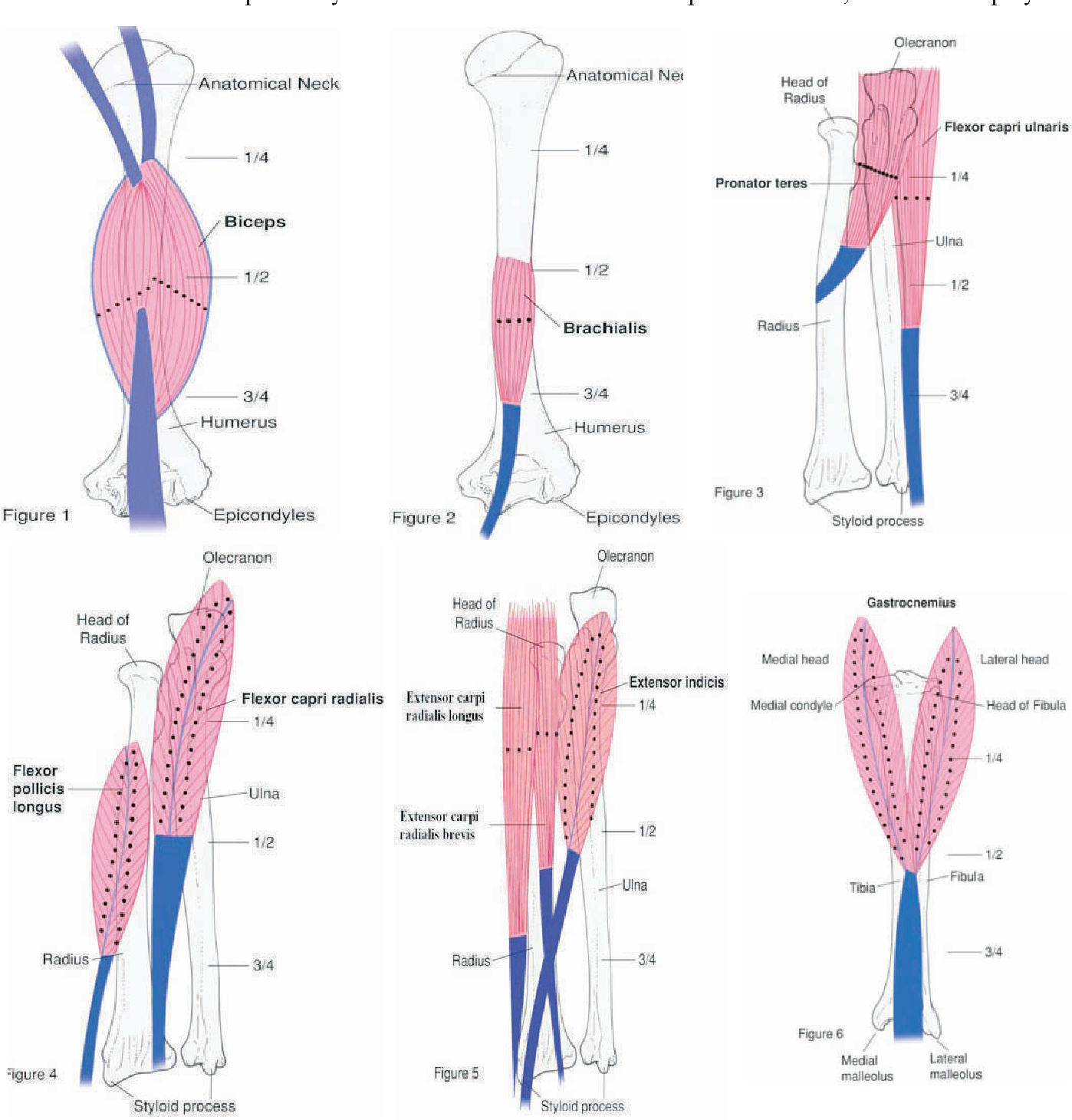 Muscle fiber orientation in muscles commonly injected with botulinum ...
