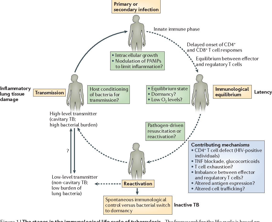The immunological life cycle of tuberculosis semantic scholar figure 1 ccuart Images