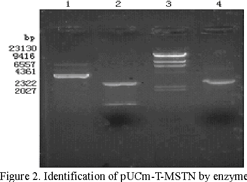Figure 2. Identification of pUCm-T-MSTN by enzyme digestion. 1, recombinant plasmid digested by Xho I;