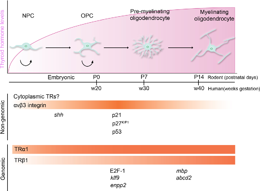 Fig. 1 Non-genomically and genomically regulated genes by thyroid hormone during oligodendrocyte development. The schematic shows elevation of brain thyroid hormone (TH) levels during oligodendrocyte differentiation. Developmental regulation of oligodendrocyte-associated genes by TH in a non-genomic and genomic expression pattern at different stages of lineage progression. Non-genomic TH signaling is