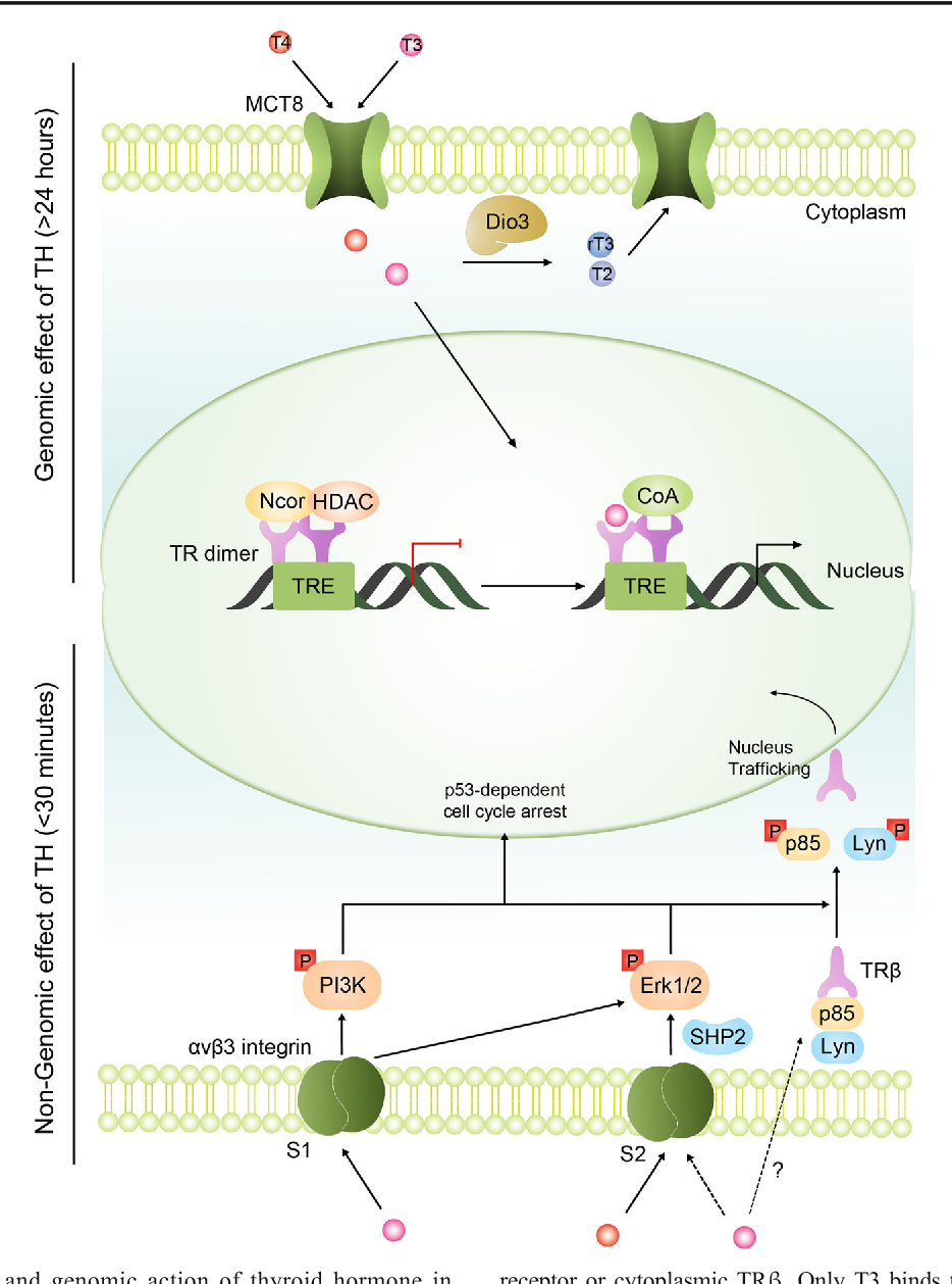 Fig. 2 Non-genomic and genomic action of thyroid hormone in oligodendrocytes. Genomic effects of TH: oligodendroglial monocarboxylate transporter 8 (MCT8) may transport T4 and T3 into the cytoplasm where either can be deiodinized into genomically inactive rT3 and T2 or bind to the nuclear TR dimeric complex. Unliganded TRs can recruit the nucleus co-repressor (Ncor) to repress transcription of genes within the TH response element (TRE). T3 binding of TRs can recruit co-activator (CoA) to regulate TREassociated genes. Non-genomic effects of TH: THs may signal in a non-genomic manner either via binding to αvβ3 integrin dimeric