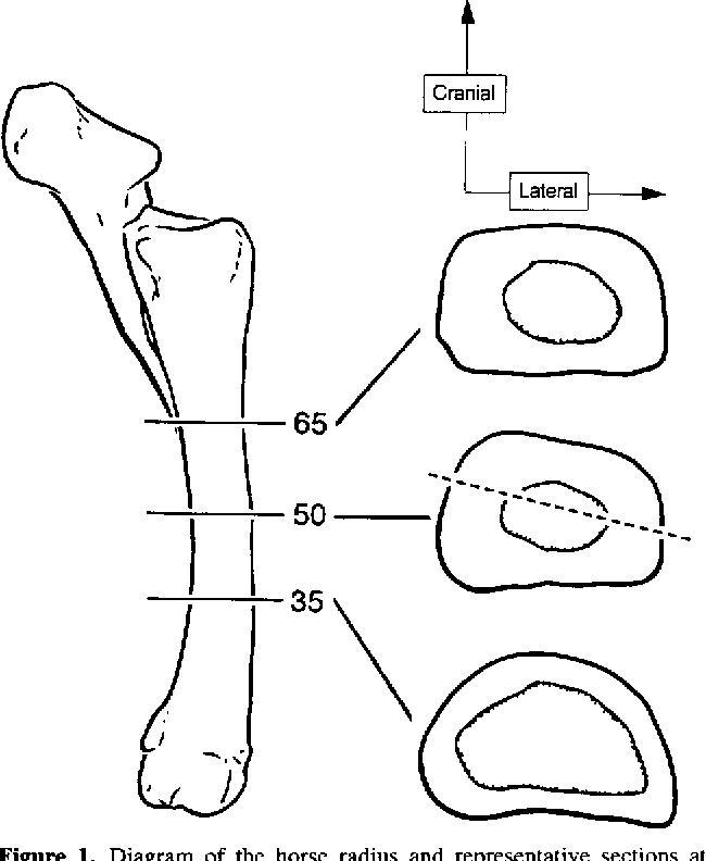 Goat Bone Diagram