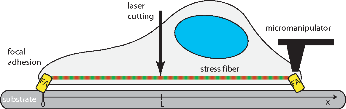 Figure 1 from Viscoelastic response of contractile filament bundles