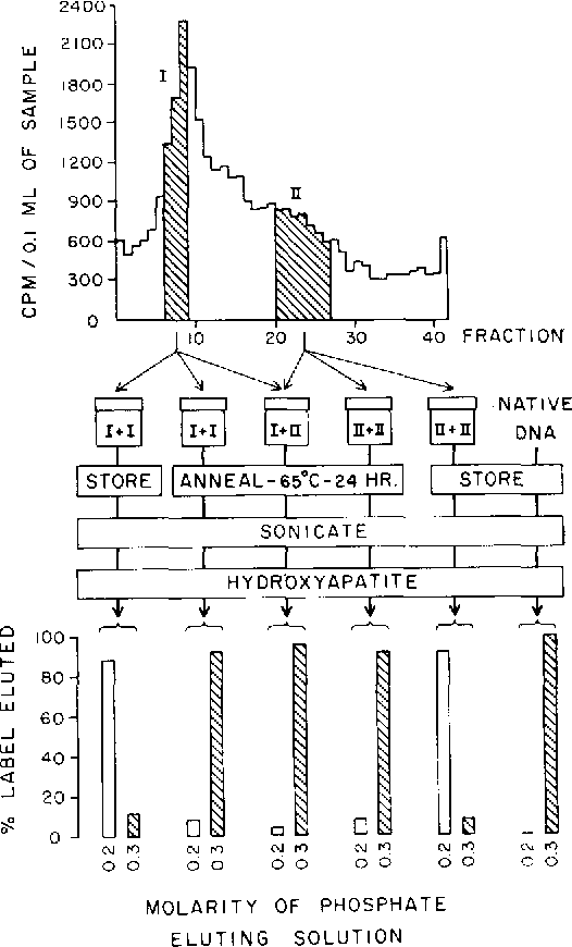 Figure 2 from The anatomy of the SP50 bacteriophage DNA molecule ...