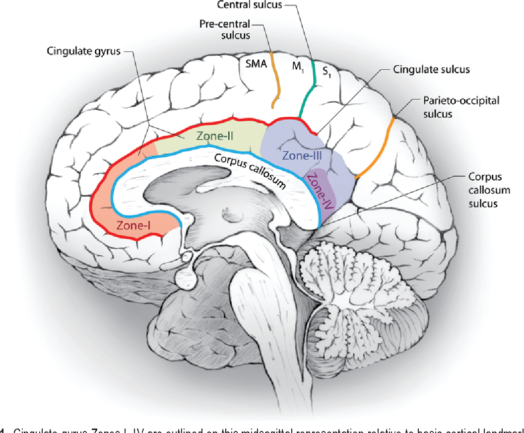 Assessment of morbidity following resection of cingulate gyrus ...