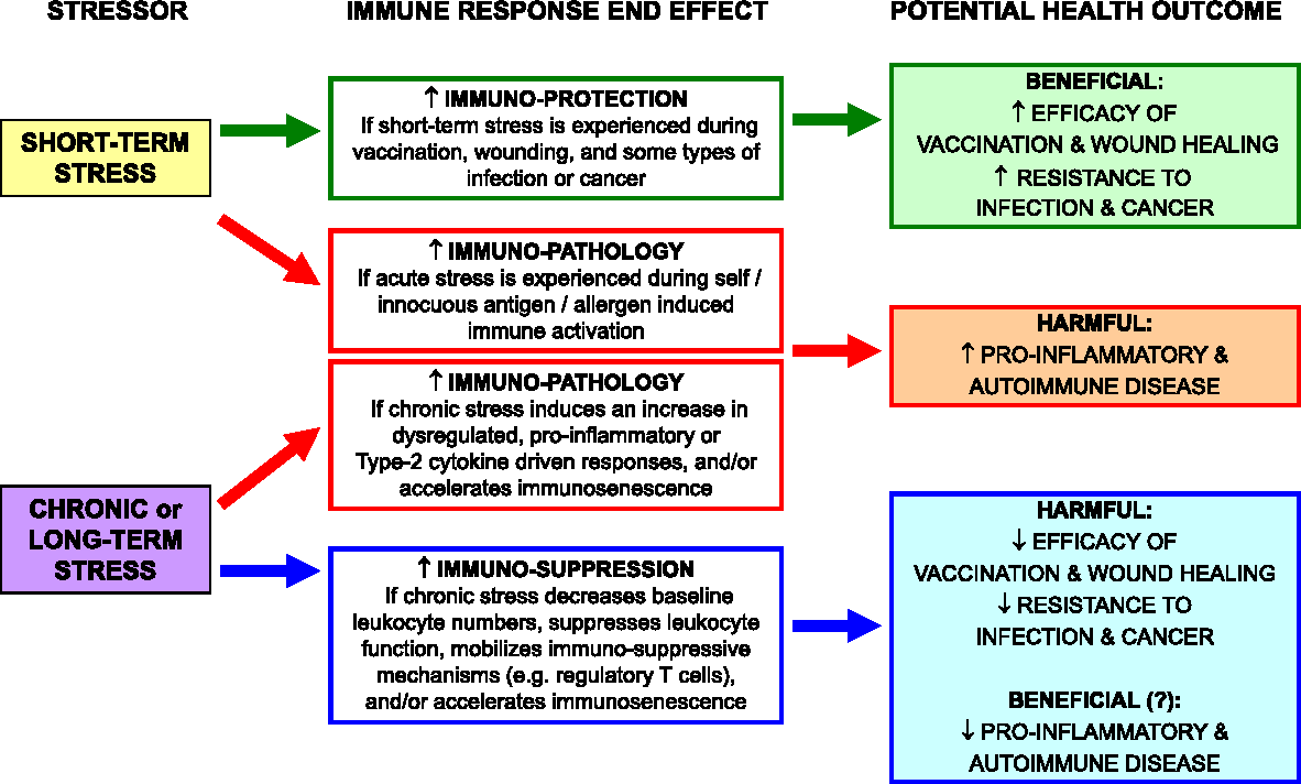How Do Acute And Chronic Stress Impact >> Figure 1 From Effects Of Stress On Immune Function The Good The