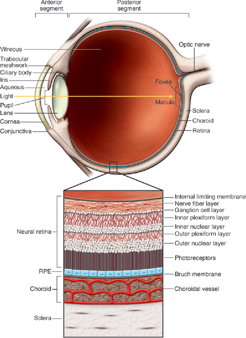 Figure 1 from A look at autoimmunity and inflammation in the eye ...