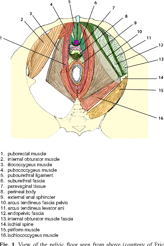 Cystocele and functional anatomy of the pelvic floor: review and ...
