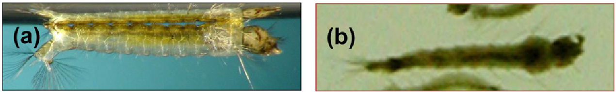 Figure 2 Toxic effect of M1 strain on fourth-instar larvae of the Permethrin-resistant strain of An. gambiae. A, untreated larva; B, larva treated with sporeparasporal crystal mixture of M1. The LC50 values for M1 against KIS and RSP were 100 and 500 ng mL 21, respectively, and for reference strain AM65–52, 200 and 2600 ng mL21, respectively. Note the translucence of the healthy untreated larva and its adherence to the water surface, whereas the treated larva is dark and opaque and the entire body is detached and floating free in the water