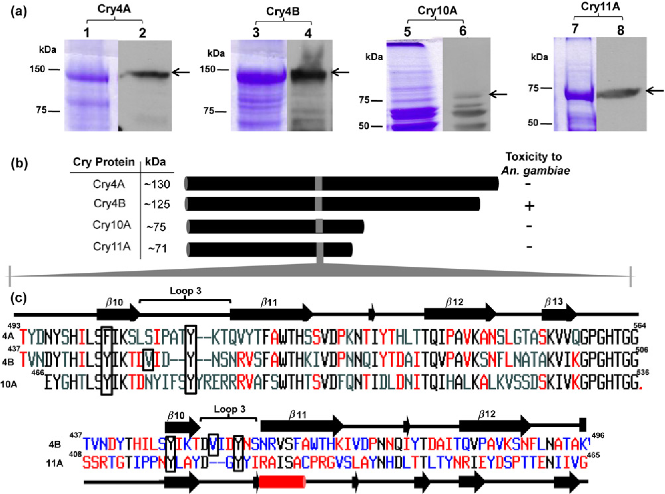 Figure 8 Comparative structural analysis of M1 Cry proteins. (a) SDS-PAGE and immunoblot analysis of recombinant Cry4A, Cry4B, Cry10A and Cry11A proteins. Inclusion bodies were purified from recombinant E. coli and solubilized at pH 12. Soluble fractions were analyzed by 10% SDS-PAGE. Lanes 1, 3, 5 and 7 are Cry4A, Cry4B, Cry10A and Cry11A, respectively. Protein samples from lanes 1, 3, 5 and 7 were transferred to PVDF membrane and Cry proteins were detected using anti-Bti goat-raised antibodies and horseraddish peroxidase conjugated to goat anti-rabbit IgG. Lanes 2, 4, 6 and 8 represent Cry4A, Cry4B, Cry10A and Cry11A, respectively. Molecular weight markers are indicated on the left side of each gel. Arrows point to recombinant Cry proteins. (b) Schema of predicted sizes (kDa) of recombinant Cry4A, Cry4B, Cry10A and Cry11A proteins and their toxicity to An. gambiae larvae. Positive sign indicates LC50 equal to 3.0 103 ng/mL, whereas negative sign indicates LC50 greater than 6.0 105 ng/mL. (c) Multiple sequence alignment and secondary structure prediction showing the putative receptor-binding region in Cry4A (residues 493–564), Cry4B (residues 437–506), Cry10A (residues 466–536) and Cry11A (residues 408–465). The predicted secondary structures, b10, loop-3 and b11–b13 strands of Cry4A, Cry4B and Cry10A are indicated above the sequences. The secondary structures for Cry11A are indicated below the sequence. In the case of Cry4A, Cry4B and Cry10A, amino acids shown in black denote identical residues; those residues in red are common only in two of the Cry proteins, whereas those residues in gray vary among three of the proteins. For Cry4B and Cry11A (second alignment), the residues in black are identical or similar whereas those in blue or red vary in the two proteins. Amino acid residues displayed in the black boxes most likely are crucial for receptor binding. Black arrows and black solid lines highlight predicted b strands and loops, respectively. The red cylinder h