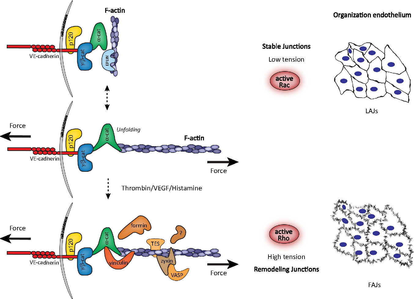 Cell–cell junctional mechanotransduction in endothelial remodeling ...