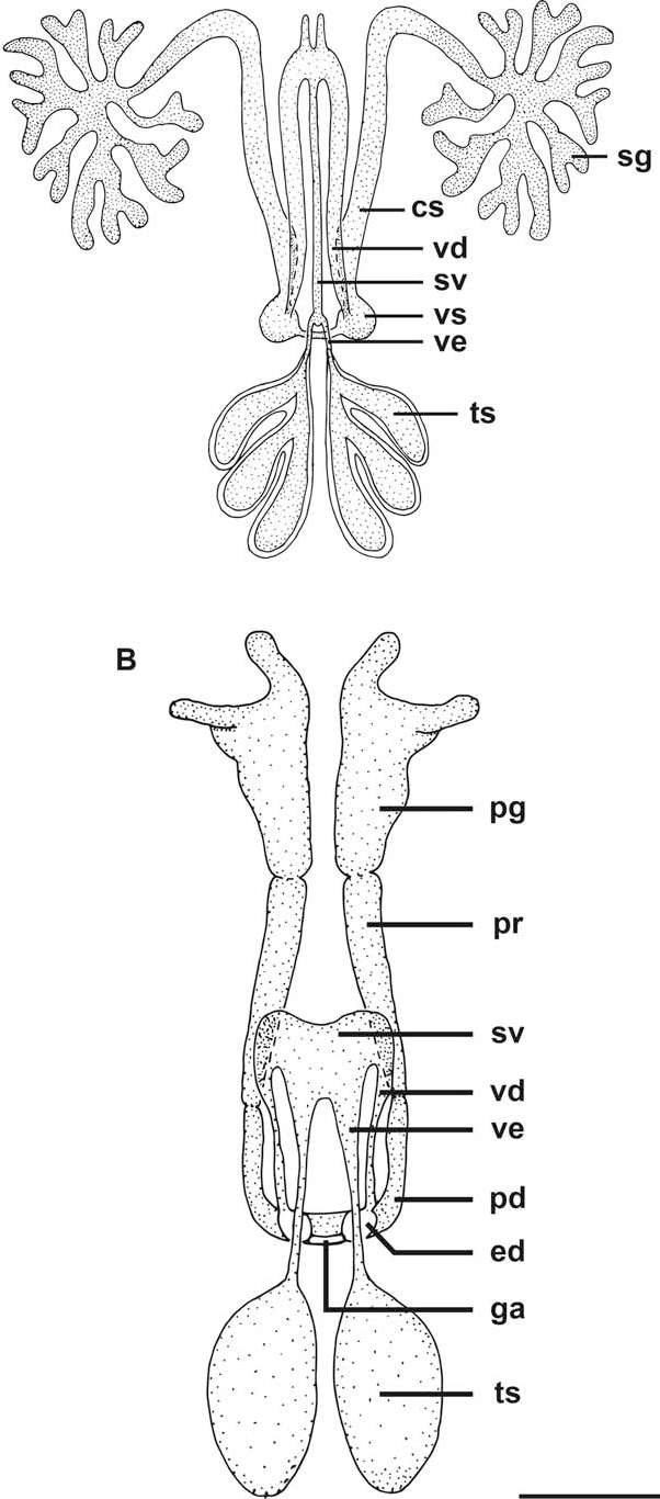Figure 5 From Chonopeltis Australis Crustacea Male Reproductive