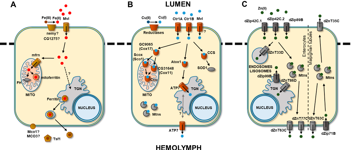 Figure 1. Main pathways of (A) iron, (B) copper and (C) zinc uptake, storage and export in Drosophila melanogaster. TGN, trans-Golgi network; MITO, mitochondria. Question marks represent an unknown mechanism. Arrows represent the direction of the metal transport.