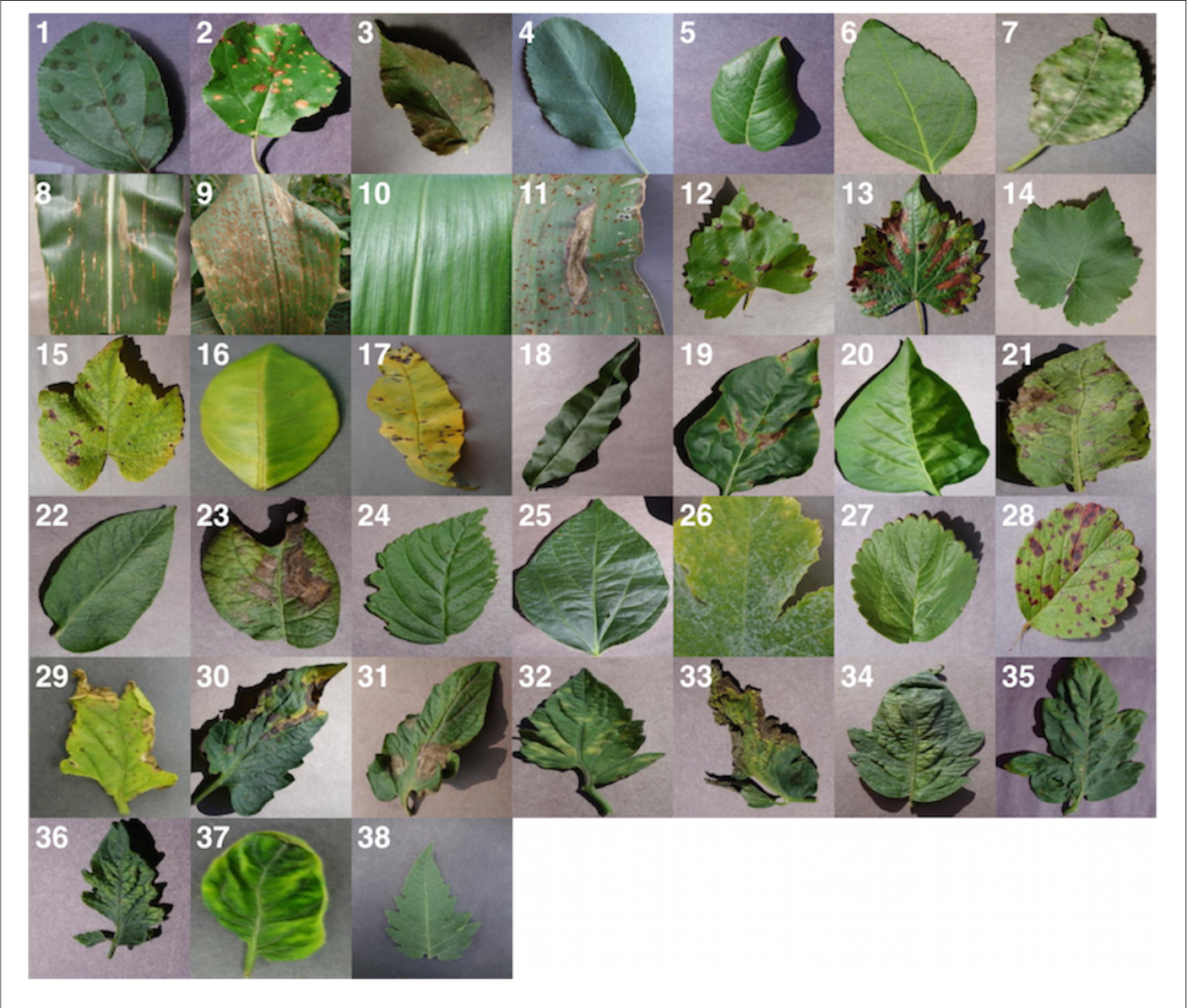 Figure 1 for Using Deep Learning for Image-Based Plant Disease Detection