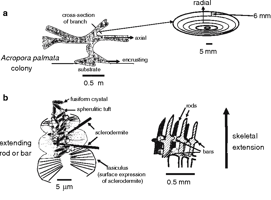 Figure 2 from skeletal development in acropora palmata lamarck 1816 figure 2 ccuart Choice Image