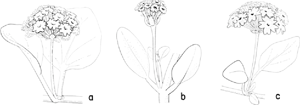 Figure 1 From The Maritime Species Of Abronia Nyctaginaceae