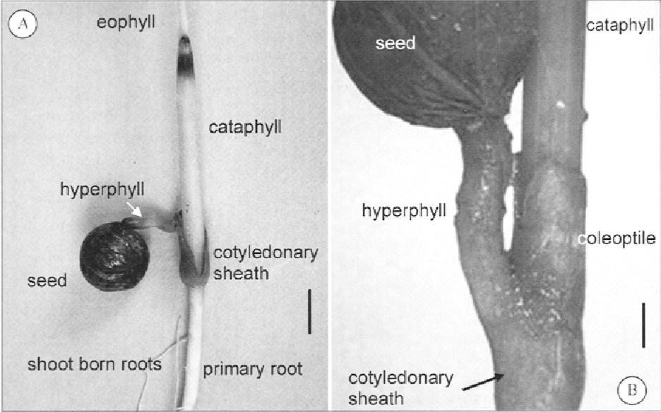 Morphology and anatomy of palm seedlings - Semantic Scholar