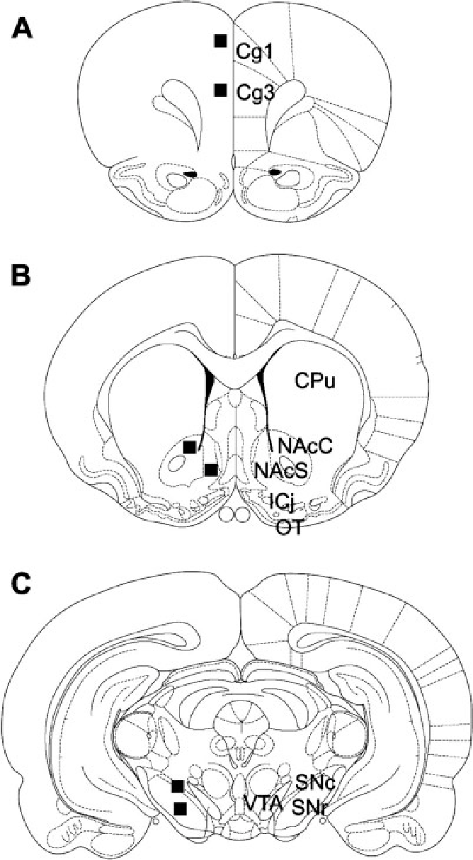 Fig. 1. Schematic redrawing (atlas of Paxinos and Watson) of the prefrontal cortex (A), CPu, NAc (B), VTA, and SN (C); boxed areas indicate the approximate localization of the areas analyzed for DAT immunohistochemistry.