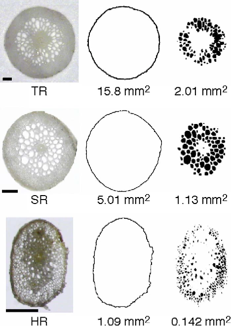FIG. 5. Color online Microscopic cross-sections of rhizomes R for the three seagrass species. Abbreviations and notes as in Fig. 4.