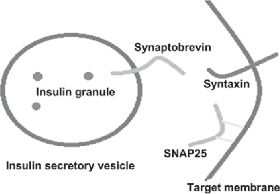 Key Proteins Involved In Insulin Vesicle Exocytosis And Secretion