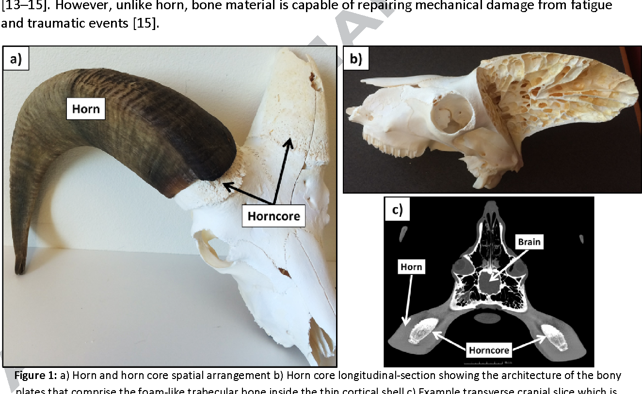 Horn And Horn Core Trabecular Bone Of Bighorn Sheep Rams Absorbs