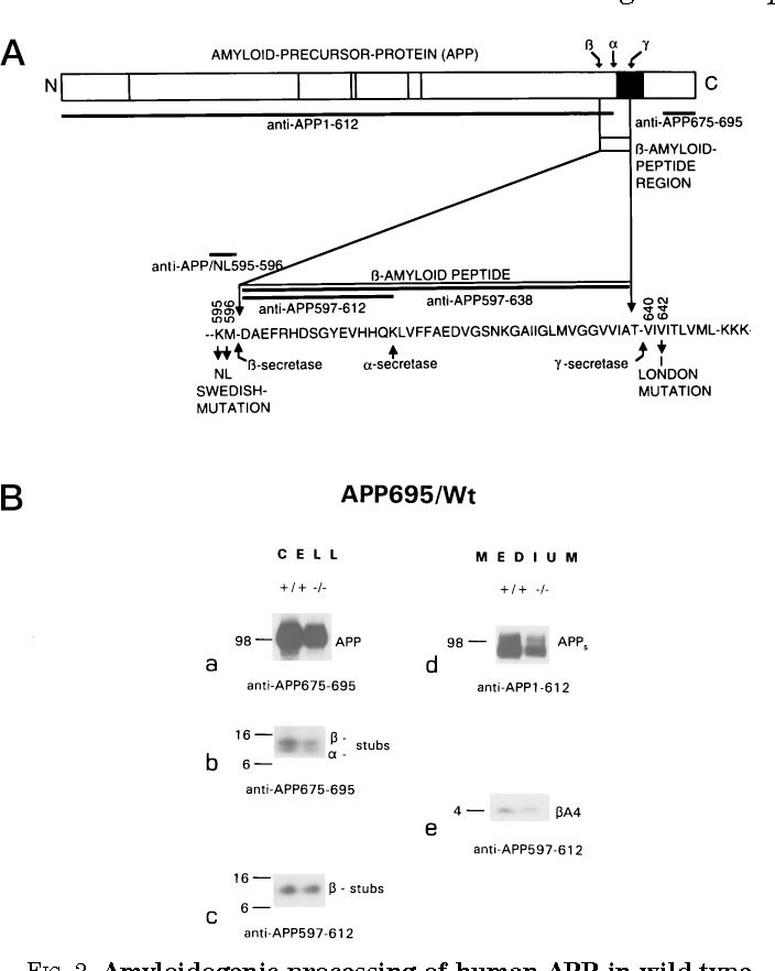 """FIG. 2. Amyloidogenic processing of human APP in wild-type and cathepsin D-deficient mouse hippocampal neurons. A, schematic representation of the human amyloid precursor protein. The Swedish (37) and London (43) point mutations are indicated. The epitopes of the different antibodies used in this study are shown (see """"Materials and Methods""""). B, immunoprecipitation of cell extracts (CELL) and supernatants (MEDIUM) of wild-type (1/1) and cathepsin D-deficient (2/2) hippocampal neurons infected with SFV coding for wild-type human APP695. The antibodies used are indicated as in A."""