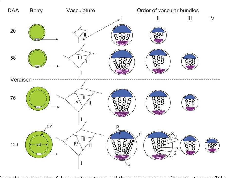 Figure 8 from The peripheral xylem of grapevine (Vitis vinifera ...
