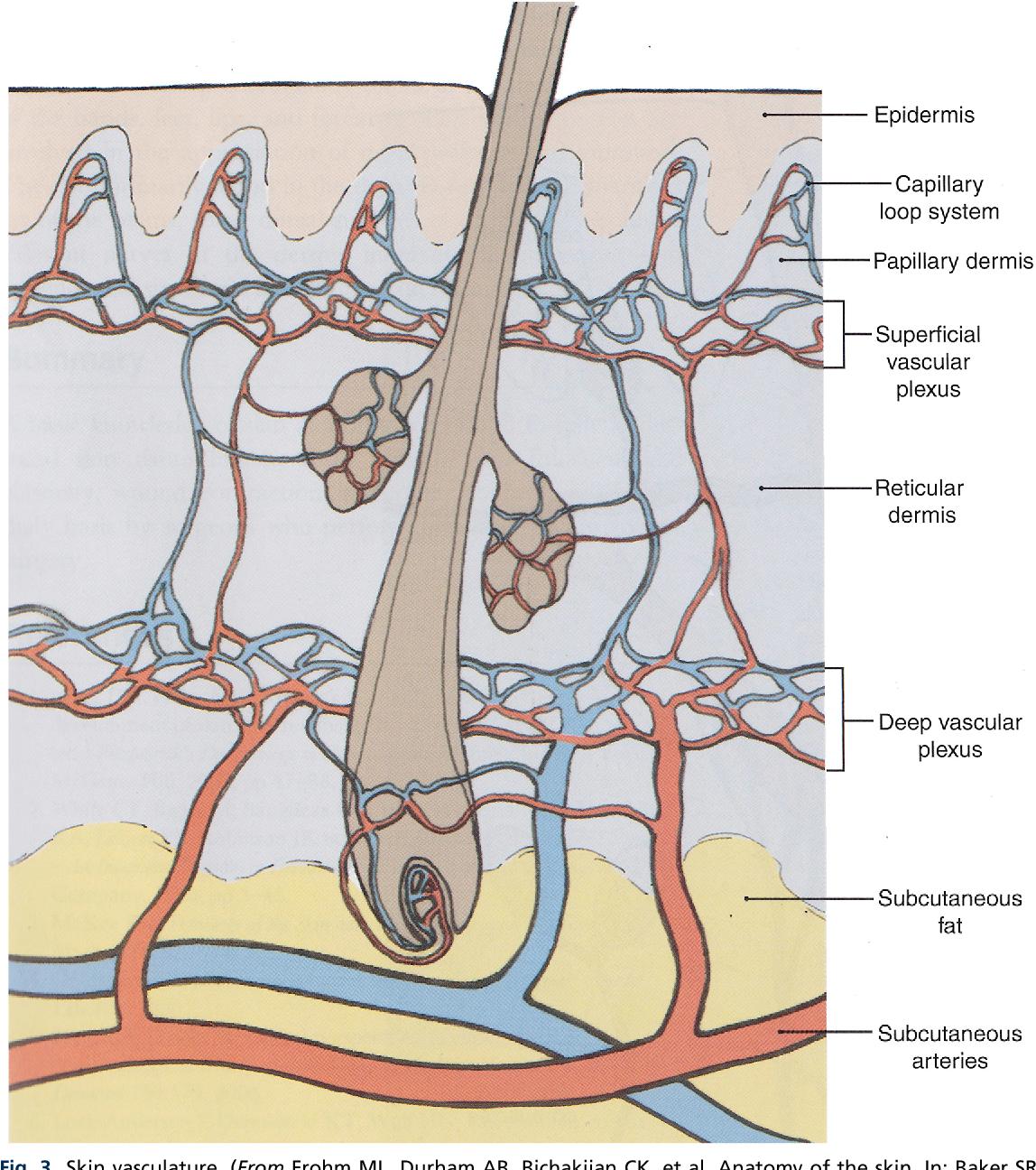 Anatomy Of The Skin And The Pathogenesis Of Nonmelanoma Skin Cancer