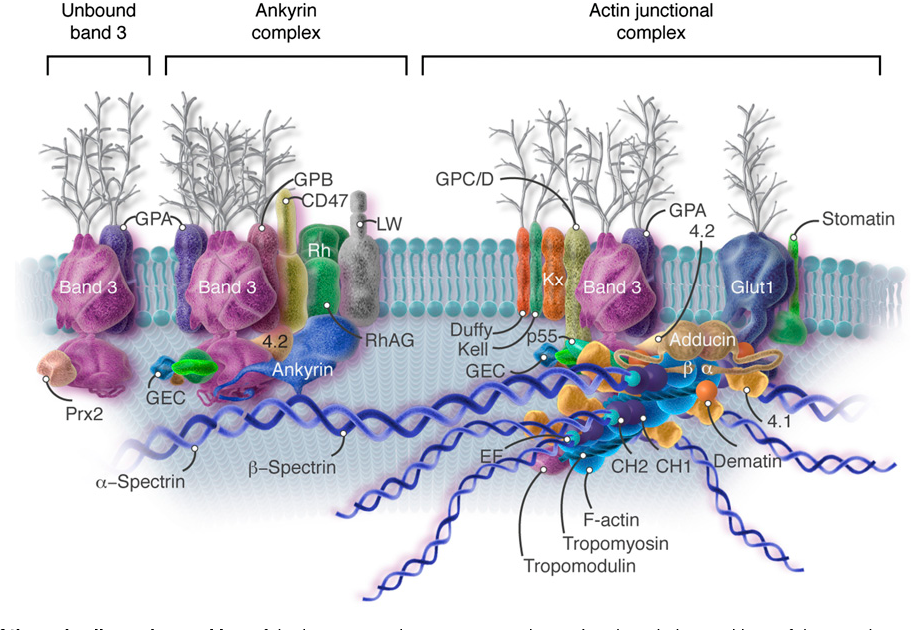 Anatomy of the red cell membrane skeleton: unanswered questions ...