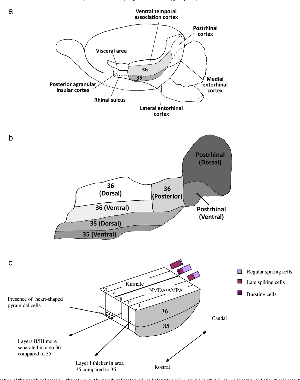 The rat perirhinal cortex: A review of anatomy, physiology ...