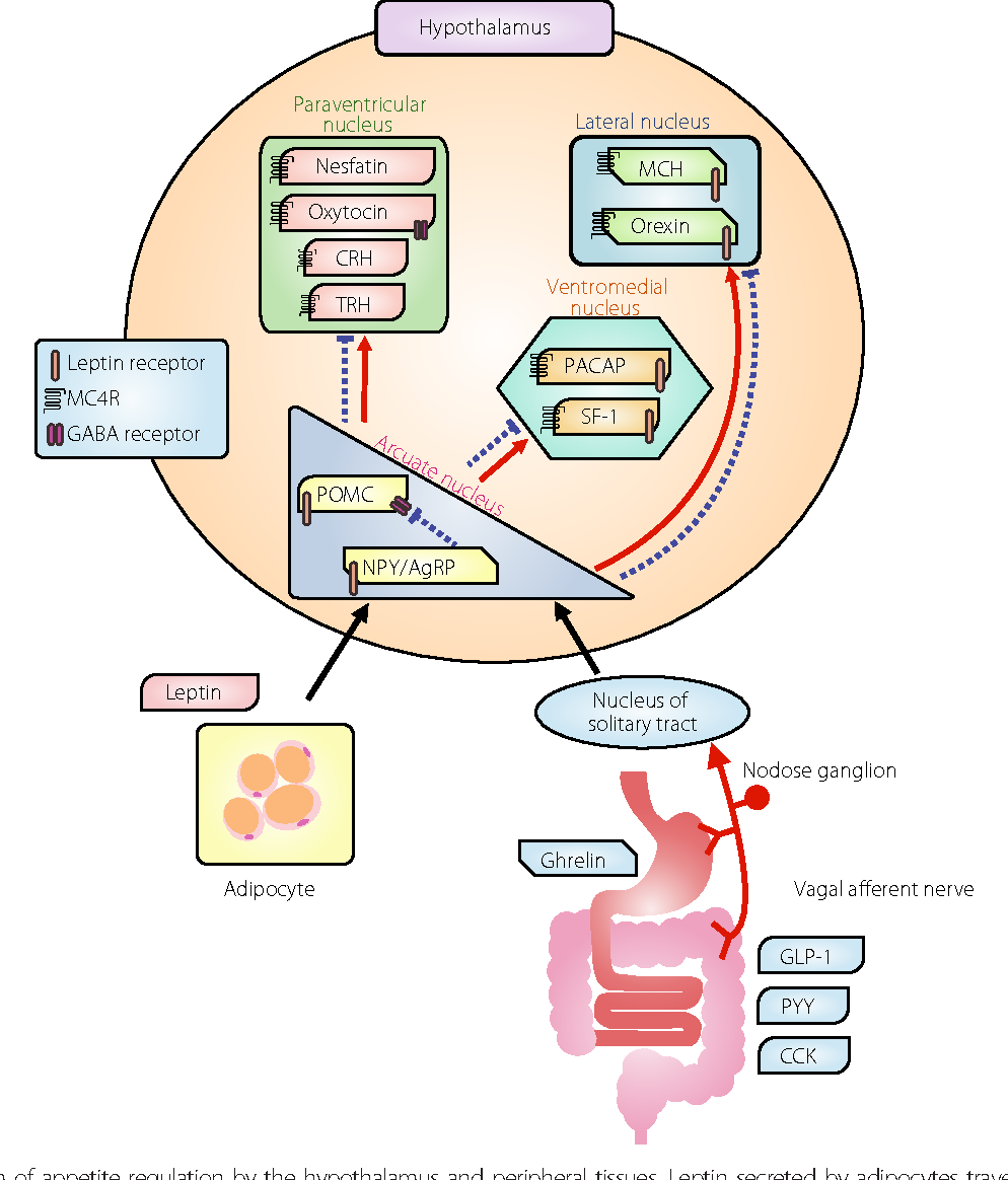 Mechanistic Relationship Between The Vagal Afferent Pathway Central