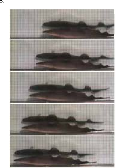 Figure 3. Images show body position and dorsal fin's waves at regular intervals during steadily swimming (From [6]).