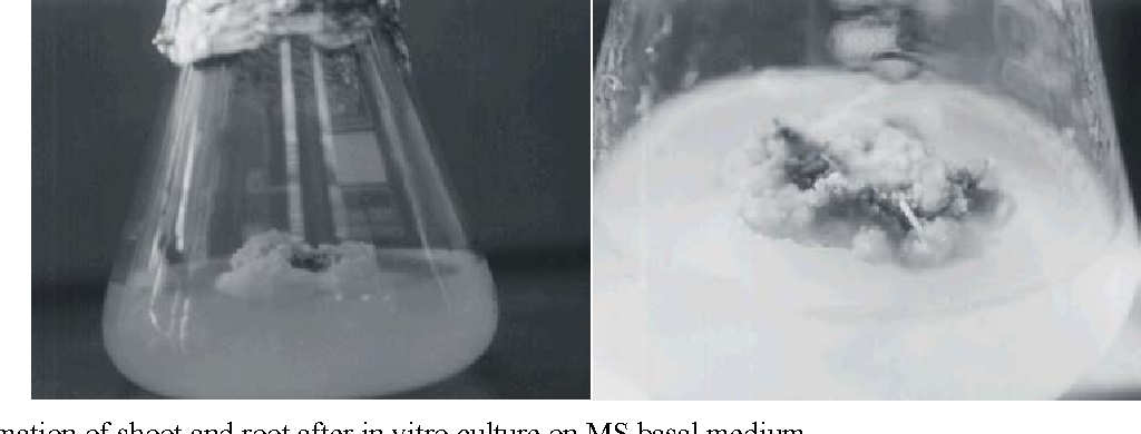 Fig. 1: Formation of shoot and root after in vitro culture on MS basal medium