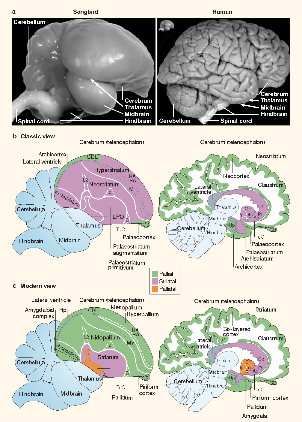 Avian brains and a new understanding of vertebrate brain evolution ...