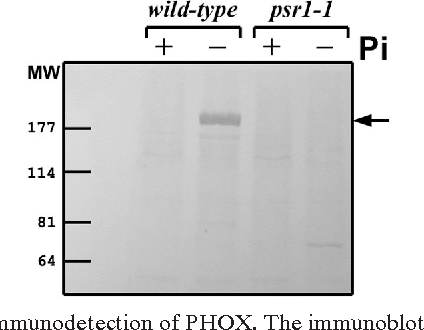 FIG. 5. Immunodetection of PHOX. The immunoblot was created by using anti-PHOX antiserum (18) and whole-cell extracts from either P-replete ( ) or P-deprived (24 h) ( ) wild-type and psr1 mutant cells.