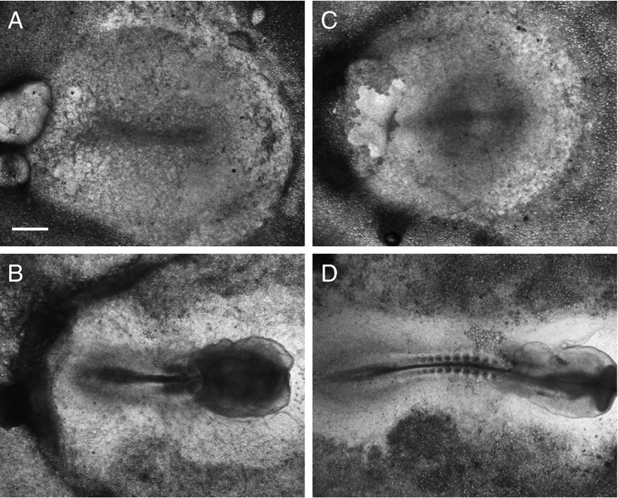 Fig. 6. Blebbistatin does not inhibit streak formation, but does inhibit regression. (A, B) Un-incubated embryos were put in EC culture on agar–albumin plates containing 5 μM blebbistatin and photographed after 24 (A) and 48 h (B) respectively. (Size bar in panel A = 0.5 mm). (C, D) Un-incubated embryos were put in EC culture on agar–albumin plates. The embryos were photographed after 24 h (B) and 48 h (D), respectively. Streak formation (A, C) is not affected by blebbistatin at the concentration used, but that later development (B, D) is severely disturbed, there is a strong defect in the elongation of the embryo resulting in few compacted somites and large heads. These results are typical for results obtained in all embryos (15) investigated. The embryos are oriented with the tip of the streak (A, C) and heads (B, D) pointing to the right.