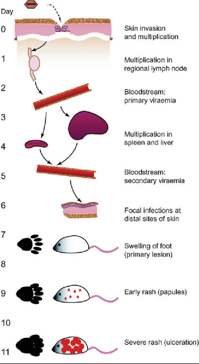 Figure 2 from Ectromelia virus: the causative agent of mousepox
