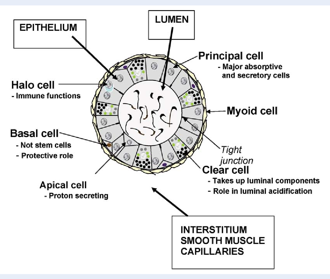 Figure 2 From New Insights Into Epididymal Biology And Function