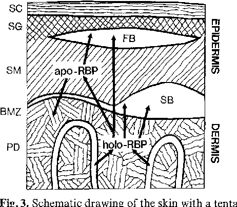 Vitamin A Transporting Proteins In Human Epidermis And Blister