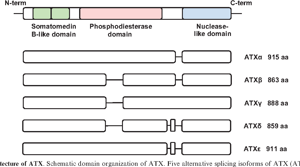 """Fig. 2 Domain architecture of ATX. Schematic domain organization of ATX. Five alternative splicing isoforms of ATX (ATXa, b, g, d and """") have been identified."""