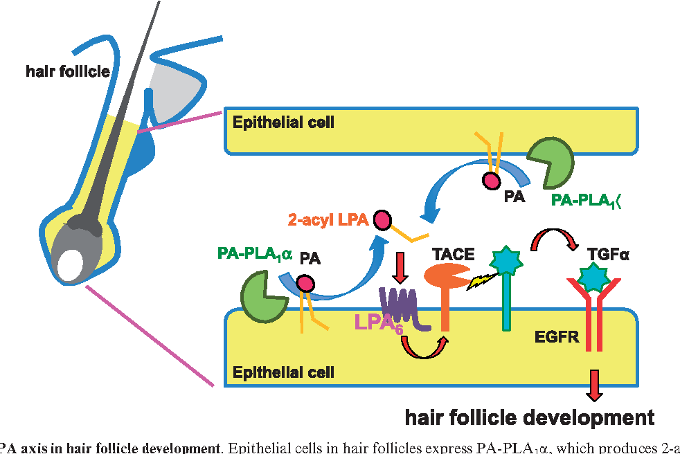 Fig. 3 PA-PLA1a-LPA axis in hair follicle development. Epithelial cells in hair follicles express PA-PLA1a, which produces 2-acyl-LPA from PA. 2-acyl-LPA activates LPA6, which is also expressed in the epithelial cells. LPA6 signalling evokes TACE/ADAM17 dependent-TGFa ectoshedding which then activates EGFR, leading to proper hair follicle development. (Reproduced from Inoue et al. (28). Copyright 2011, John Wiley & Sons). With permission from John Wiley & Sons.