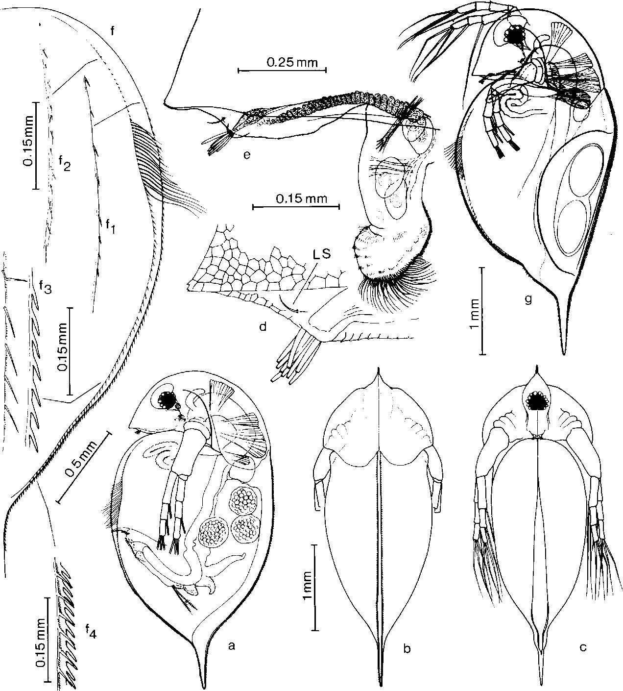 Figure 1 from Daphnia (Ctenodaphnia) hispanica sp. nov., a new ...