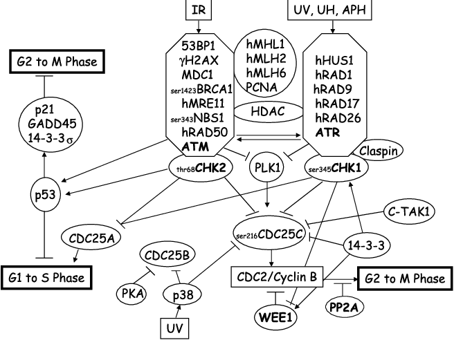 Figure 2 From G2 Checkpoint Abrogators As Anticancer Drugs
