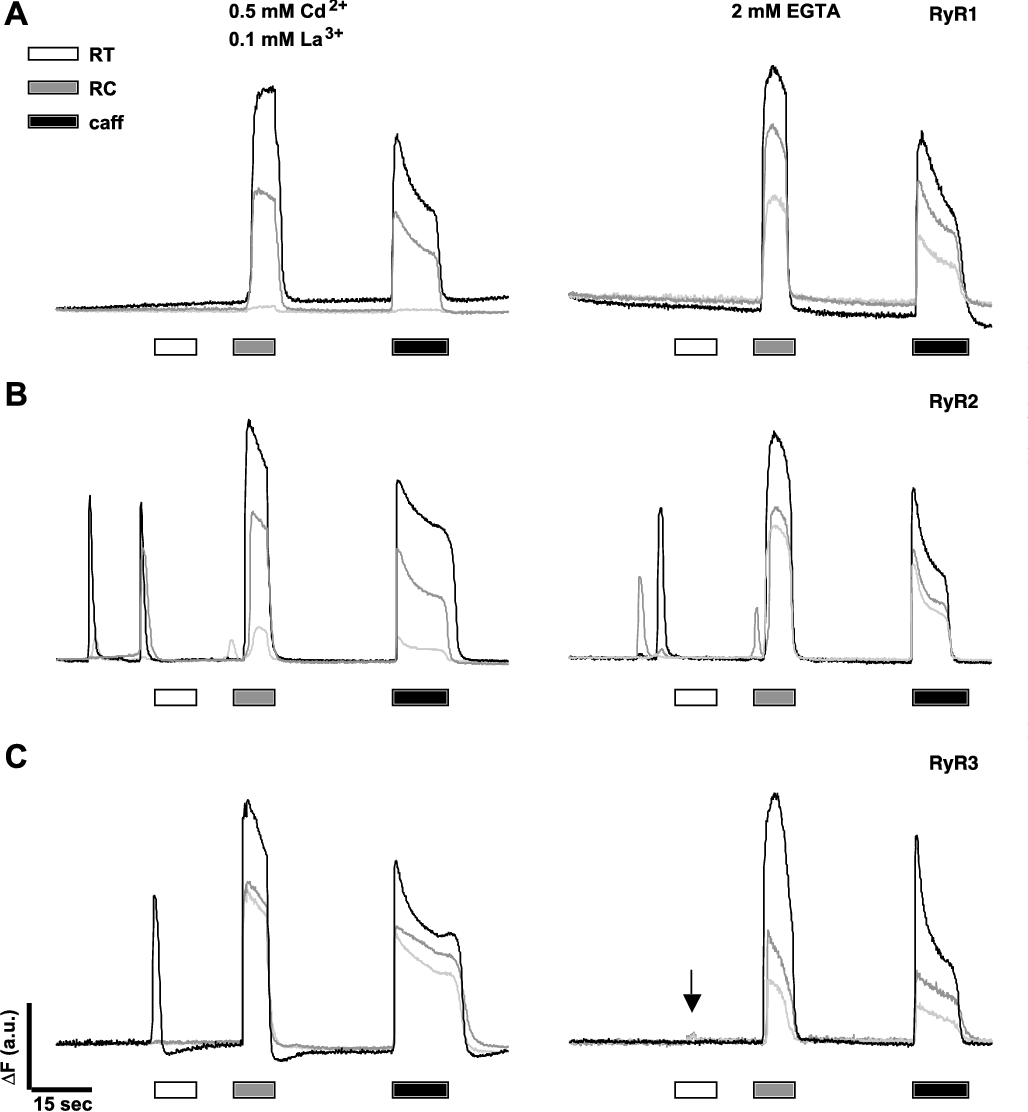 Fig. 5. External Ca2 is not involved in the RC response. A–C: experiments shown were performed in nominally Ca2 -free IB supplemented by either 0.5 mM CdCl2 and 0.1 mM LaCl3 (left) or 2 mM EGTA (right). Application of IB at RT invariably produced no change or, at most, a very small change in fluorescence indicative of motion artifact (C, arrow). RC resulted in a very rapid and large increase in fluorescence. Application of 40 mM caffeine at RT also produced a rapid and large increase in fluorescence. Note that 1B5 cells that expressed RyR2 or RyR3 still show spontaneous activity, although less pronounced than that in IB containing Ca2 (see Fig. 4). Results from experiments performed in Ca2 -free IB are summarized in Table 2.