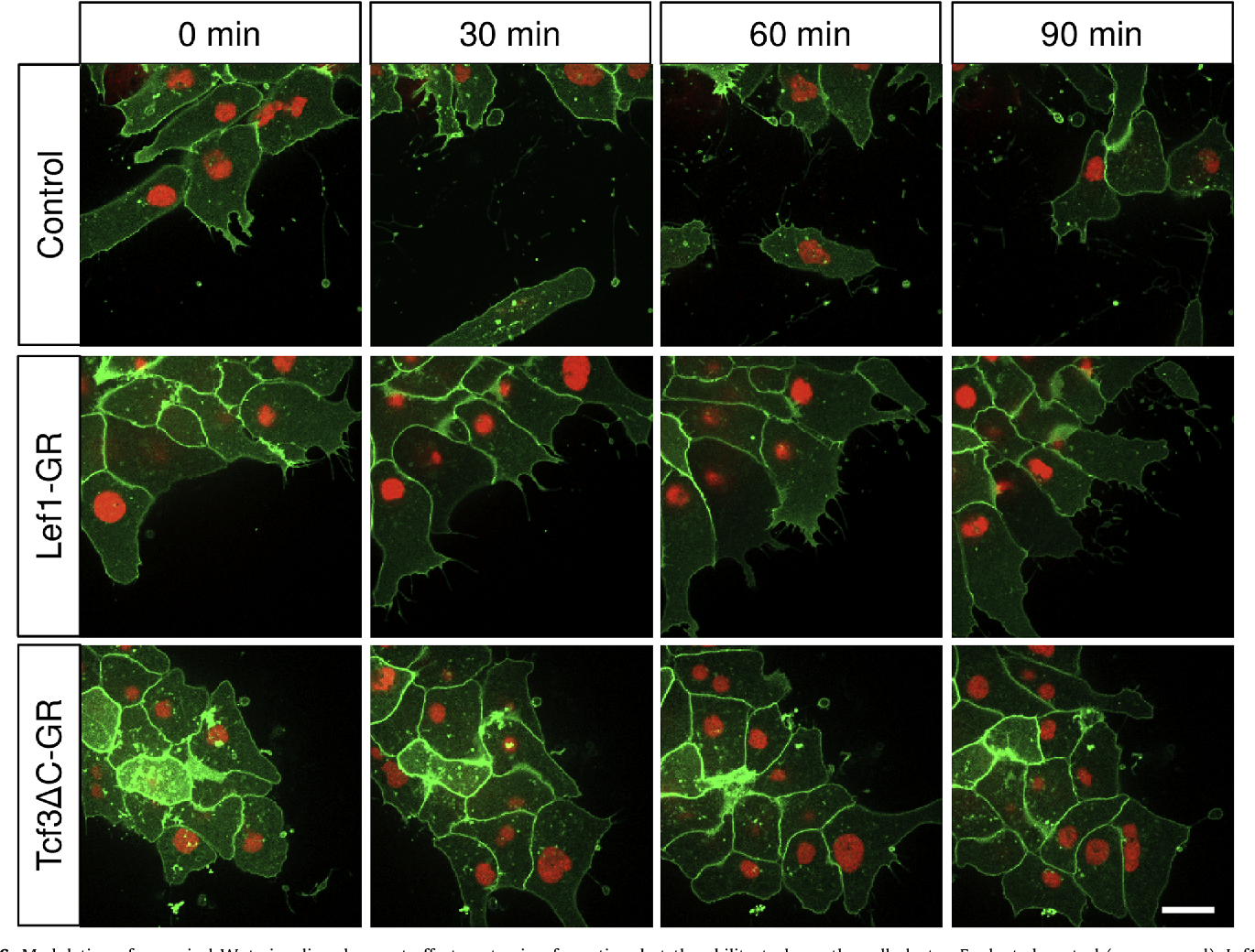 Fig. 6. Modulation of canonical Wnt signaling does not affect protrusion formation, b expressing (middle panel) and Tcf3ΔC-GR expressing (lower panel) NC cells were image after 30, 60 and 90 min of imaging. The scale bar resembles 20 mm.