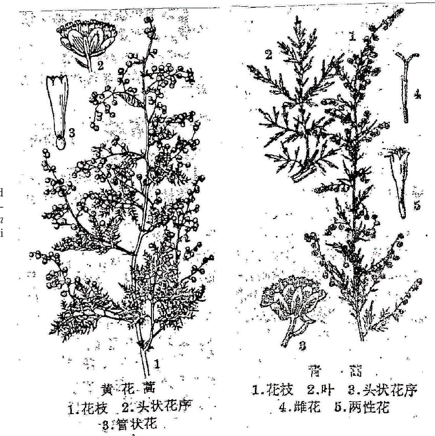 PDF] Artemisia species: From traditional medicines to modern