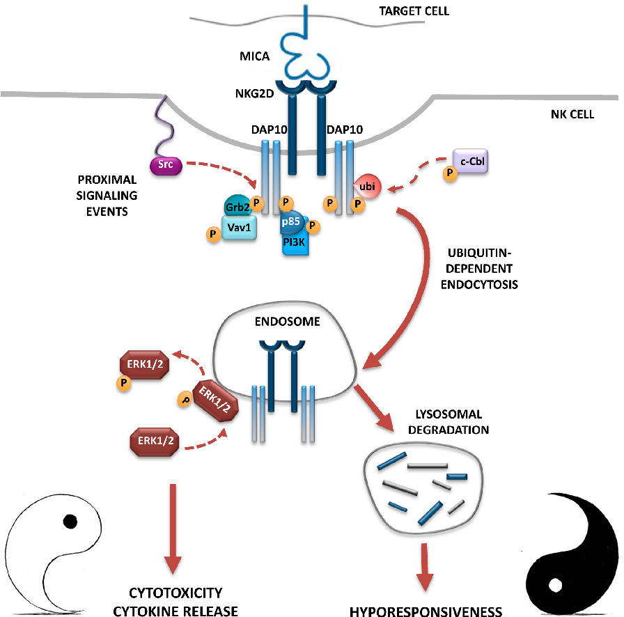 Regulation of nkg2d dependent nk cell functions the yin and the figure 1 ccuart Images