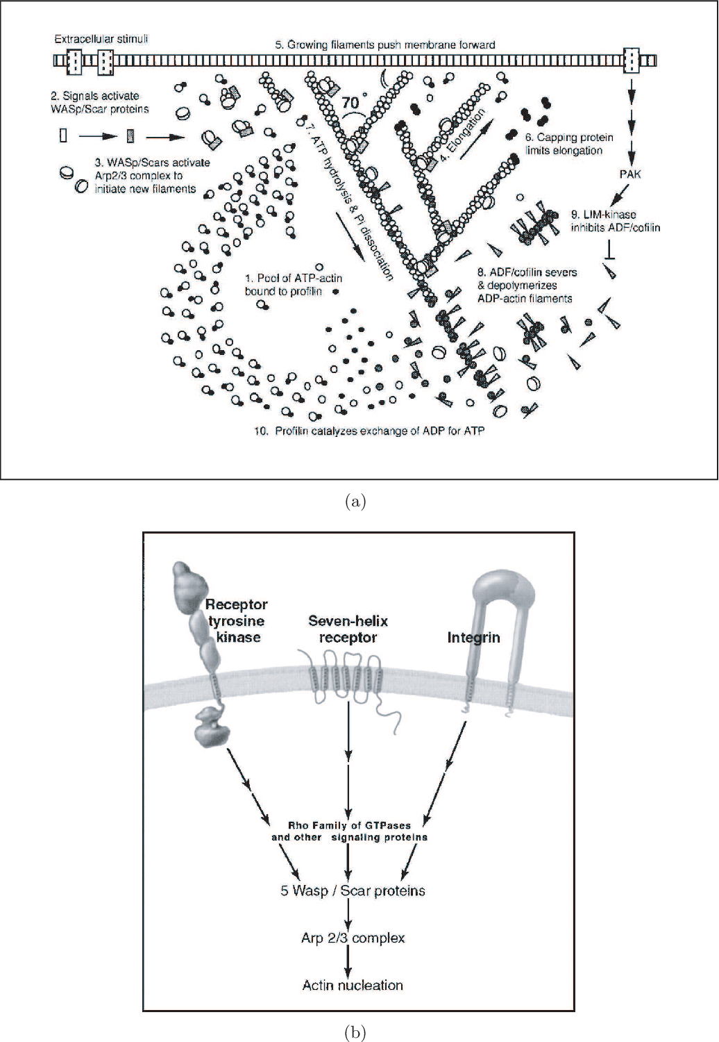 PDF] A wave-pinning mechanism for eukaryotic cell
